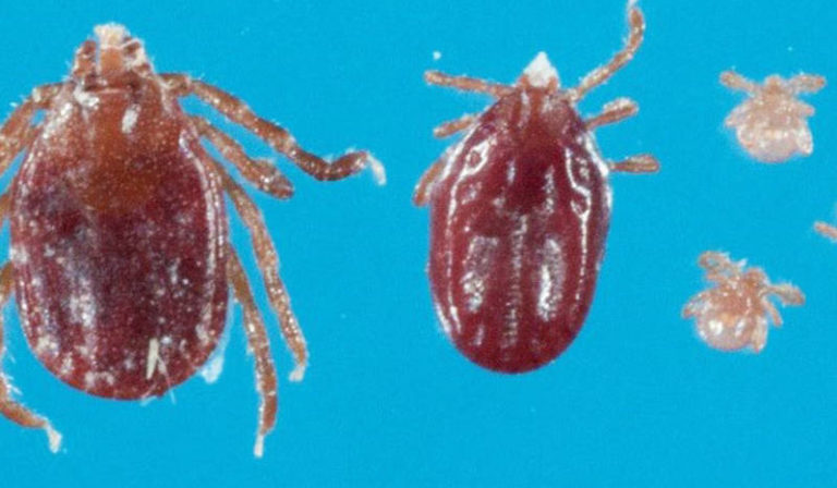 New Tick Species Discovered in New Jersey
