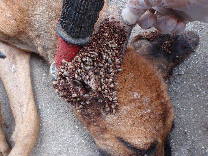 Can Lyme Disease Kill A Dog